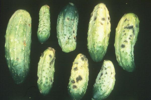 Wsu Vegetable Pathology Program