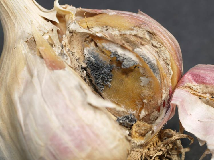White Rot in Garlic http://mtvernon.wsu.edu/path_team/DiseaseGallery/garlic-white-rot-2.htm
