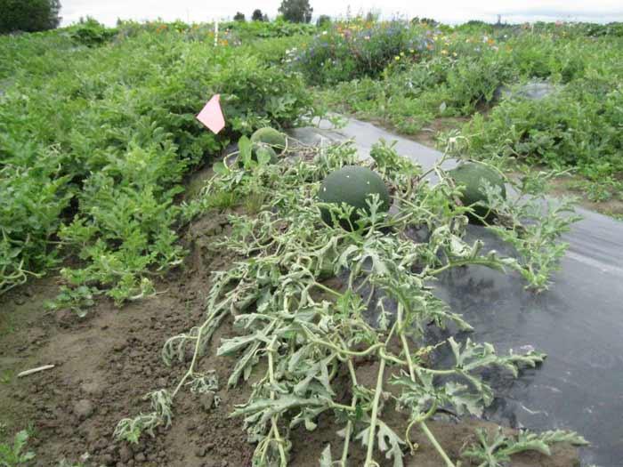 wilt associated with later stages of Verticillium wilt of watermelonFusarium Wilt Watermelon